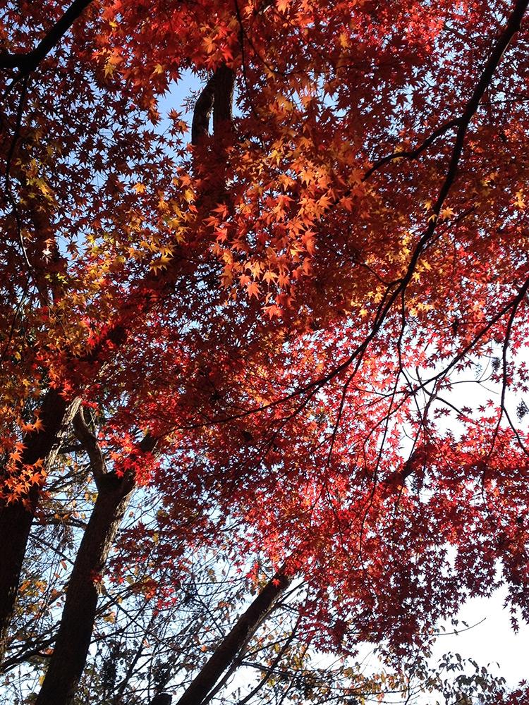 Erables aux feuilles rouges Mitaki