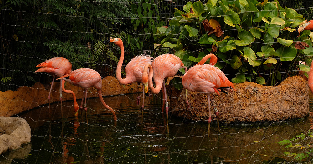 flamants roses, zoo de Singapour