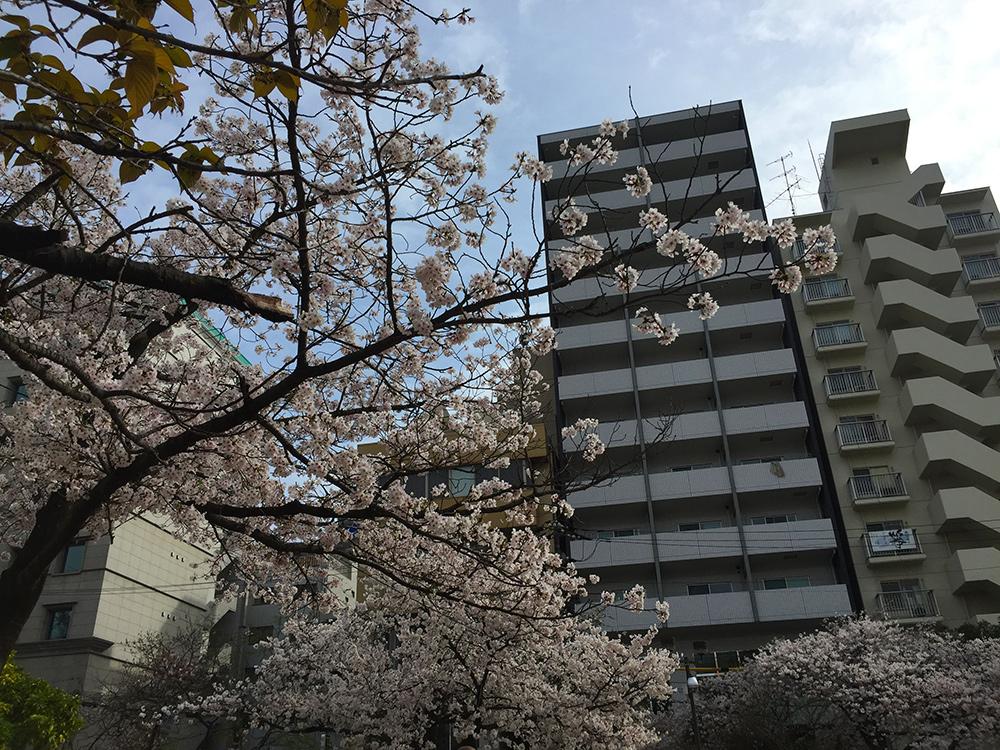 Sakura, cerisiers en fleur, Parc Fukuromachi, Hiroshima