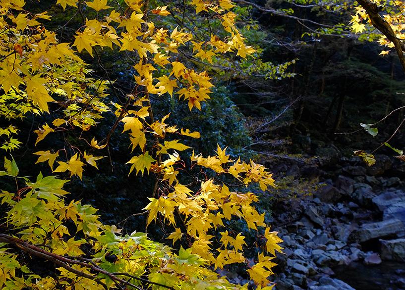 feuilles d'érable