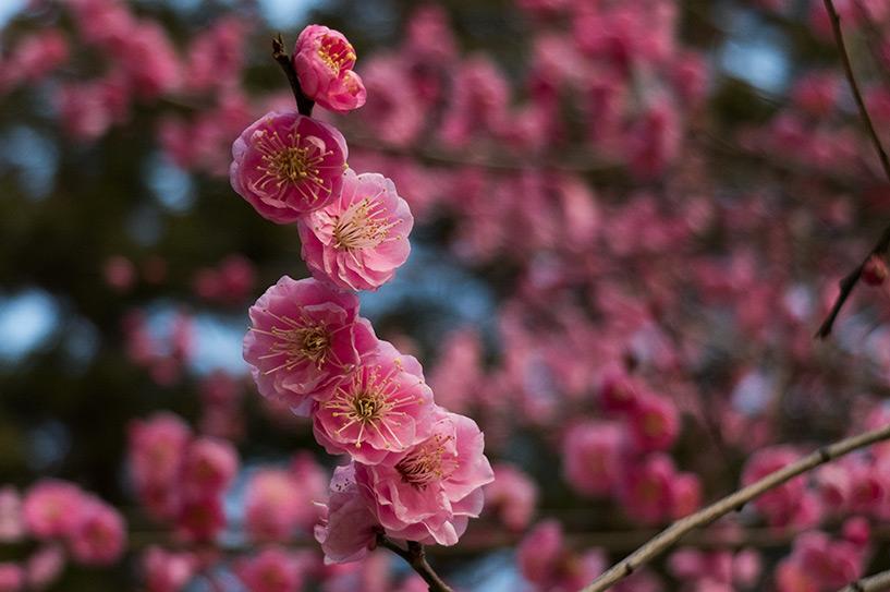 prunier rose en fleur, Hiroshima