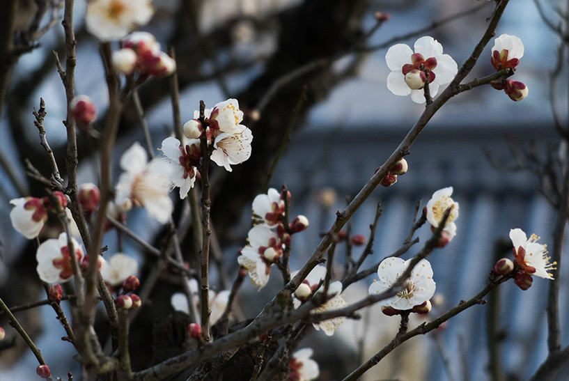 pruniers blancs en fleur, Hiroshima