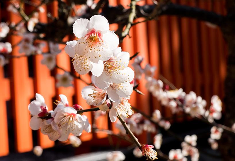 Prunier en fleurs blanc, Hiroshima, Japon