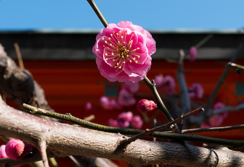 Prunier en fleur rose, Hiroshima, Japon