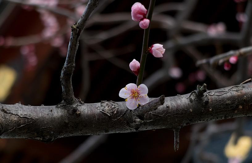 pruniers en fleur, Hiroshima, Japon