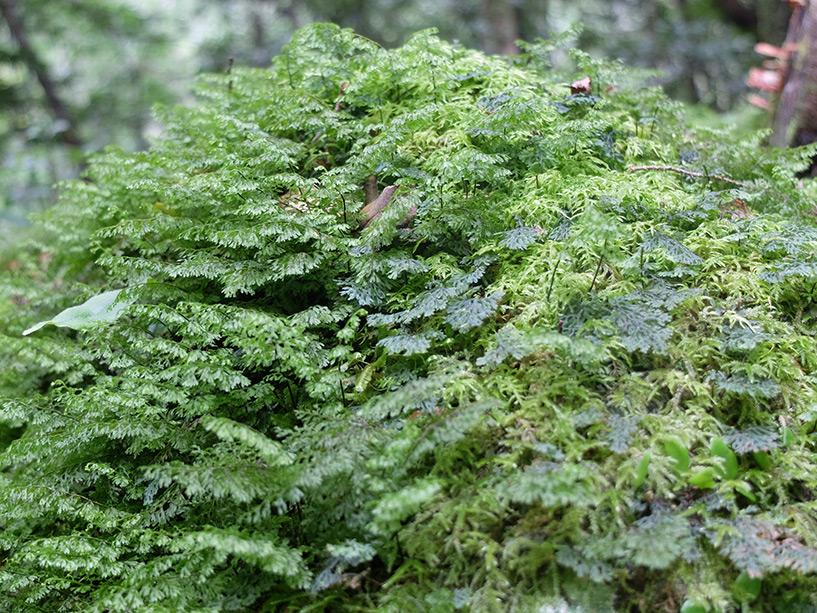 Mousse, Cascades de Todoroki, Tokushima
