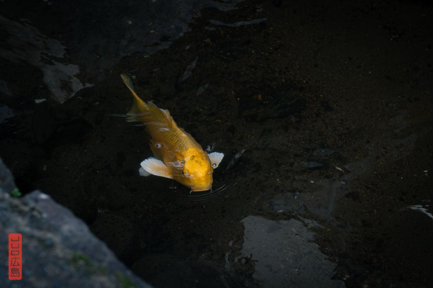 Carpe Koi nageant dans les canaux de Kurayoshi