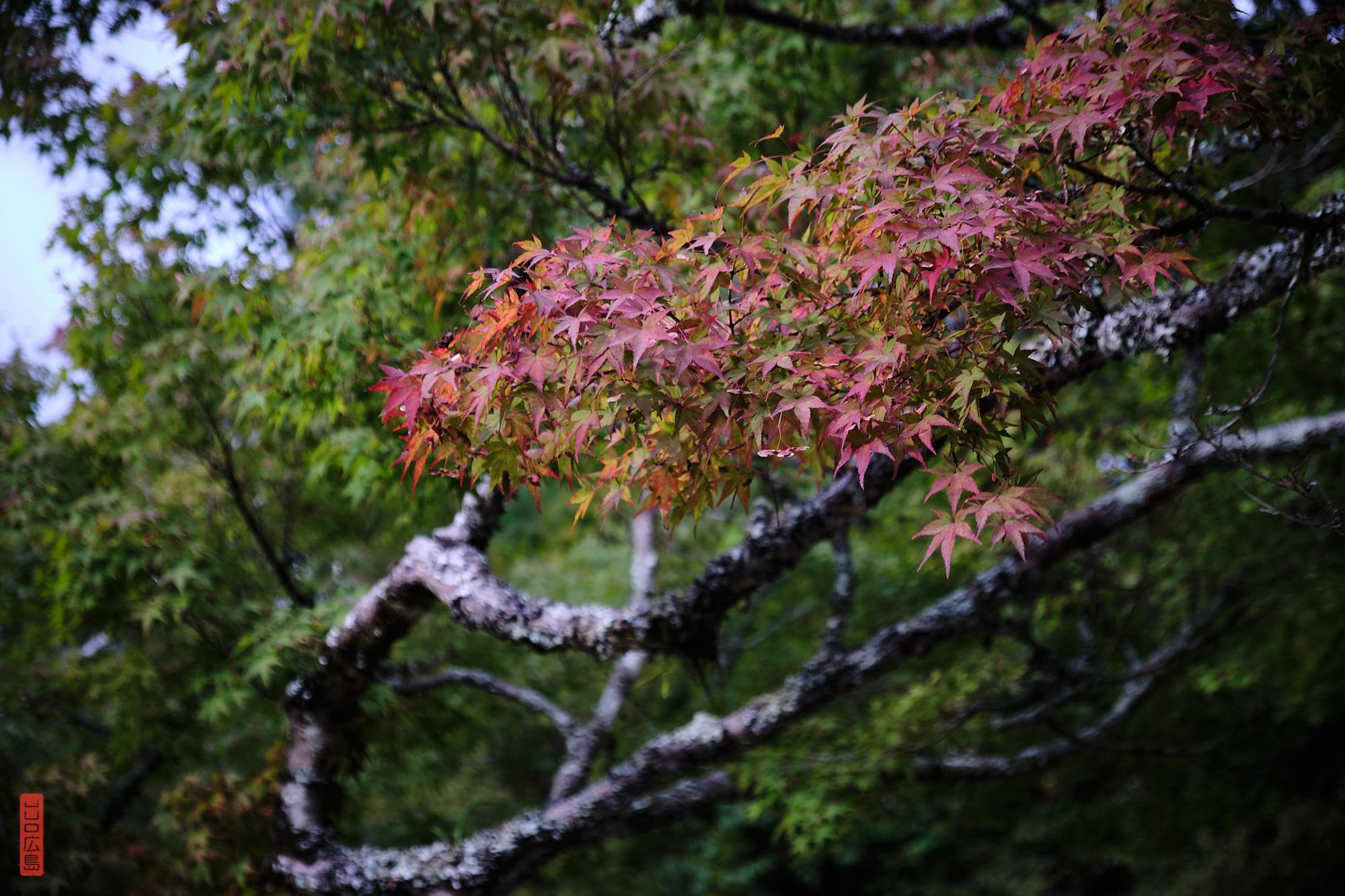 Momiji, feuilles rouges des érables, parc Momijidani, Miyajima