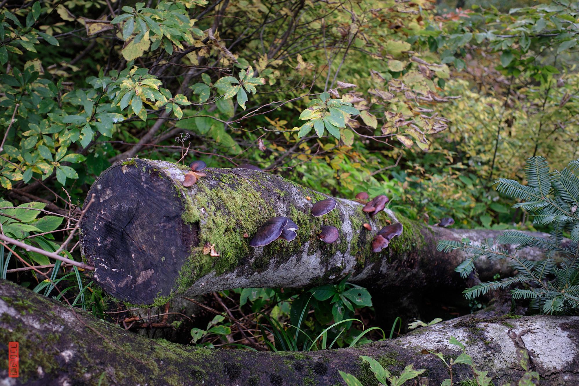 descente du mont Daisen, champignons