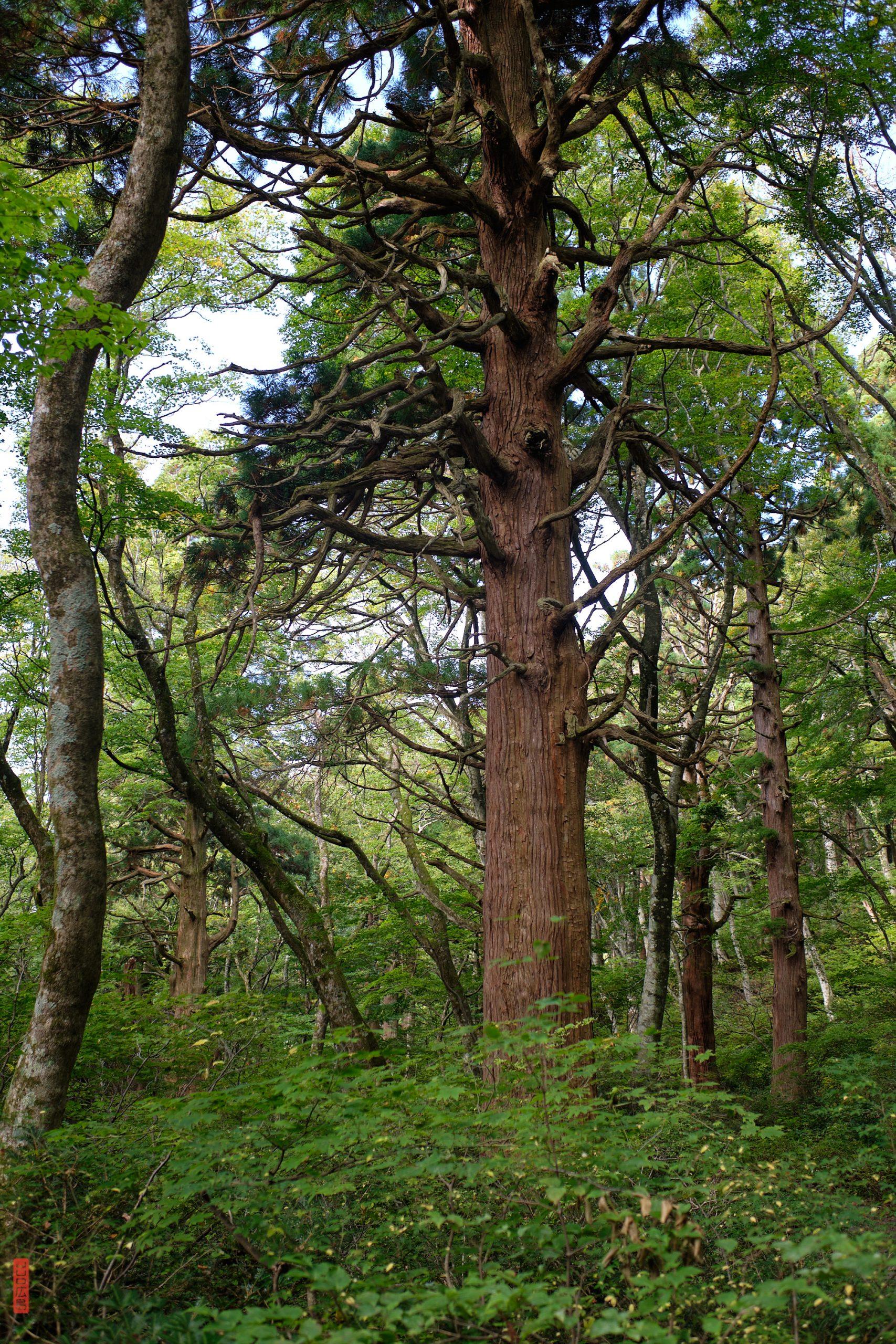 descente du mont Daisen, gros tronc