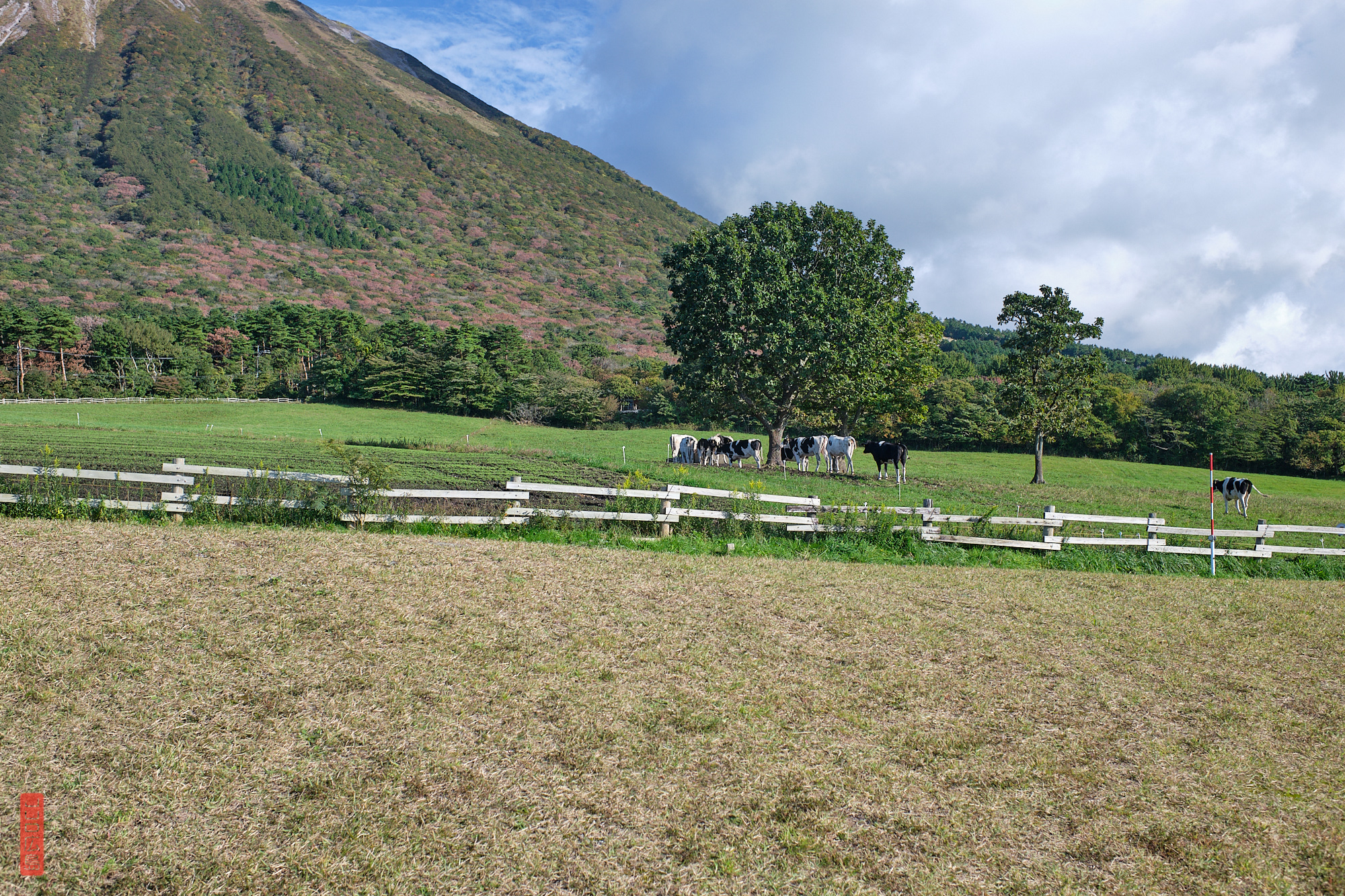 Les vaches du Mont Daisen