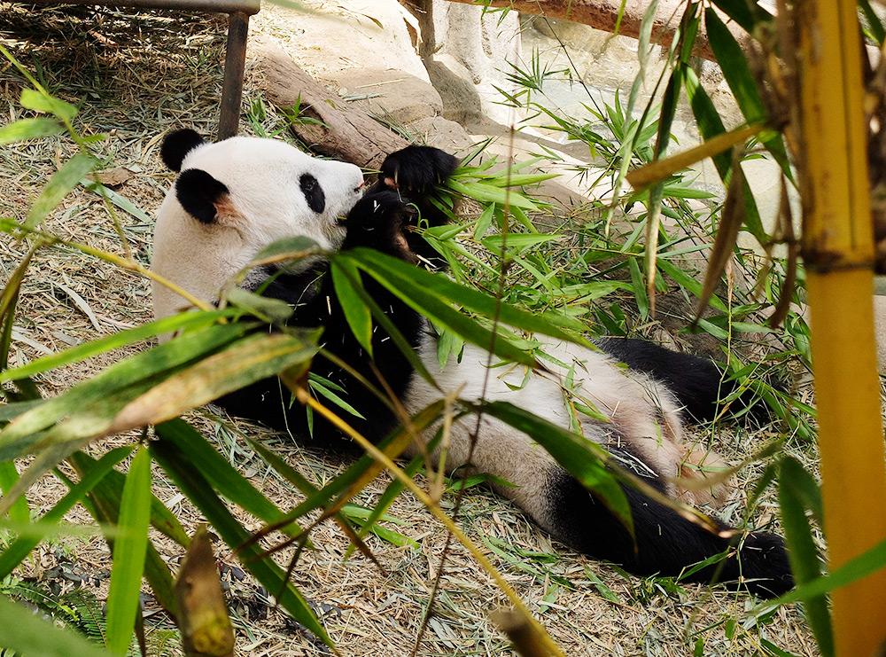 Panda, zoo de Singapour