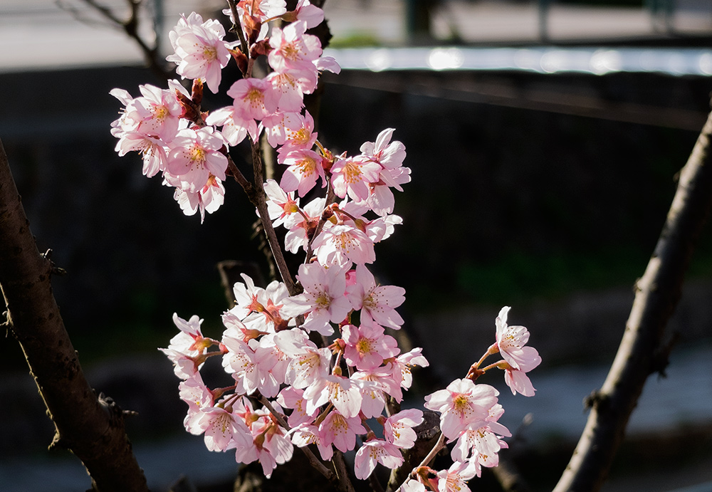 sakura, fleurs de cerisier, Japon, www.jud-hiroshima.com