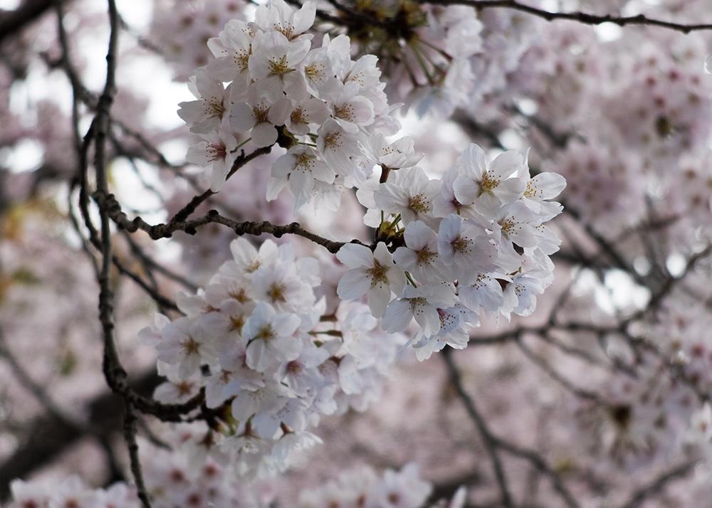 Gros plan cerisers en fleur, sakura, Japon