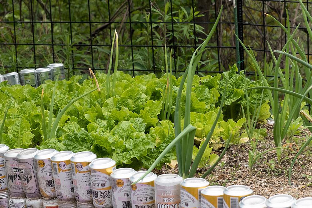 """La laitue """"sanchu"""" dans la jardin, qui servira plus tard pour le samgyeopsal"""