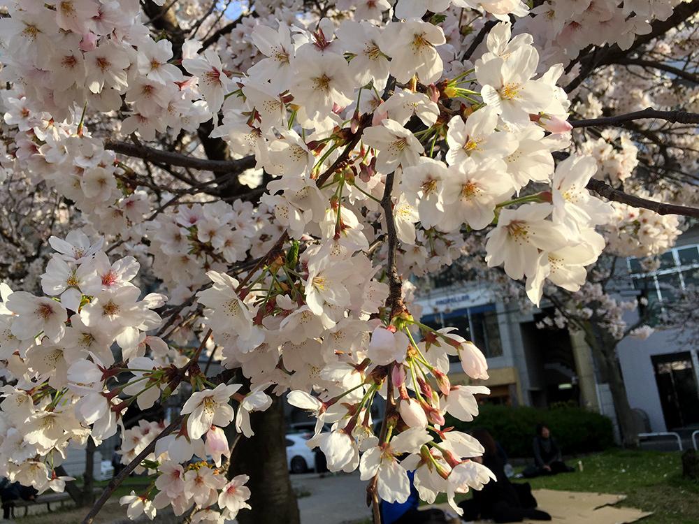 Sakura, cerisiers en fleur, Hanami, Parc Fukuromachi, Hiroshima