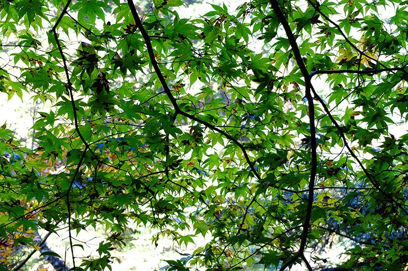 Les feuilles d'érable couleur émeraude Sandankyo