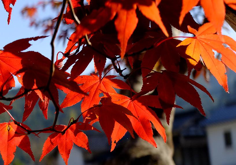 Feuilles d'érables rouges Japon Sandankyo