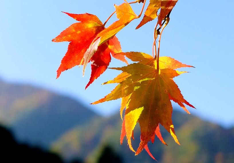 feuilles d'érable jaunes Sandankyo Japon