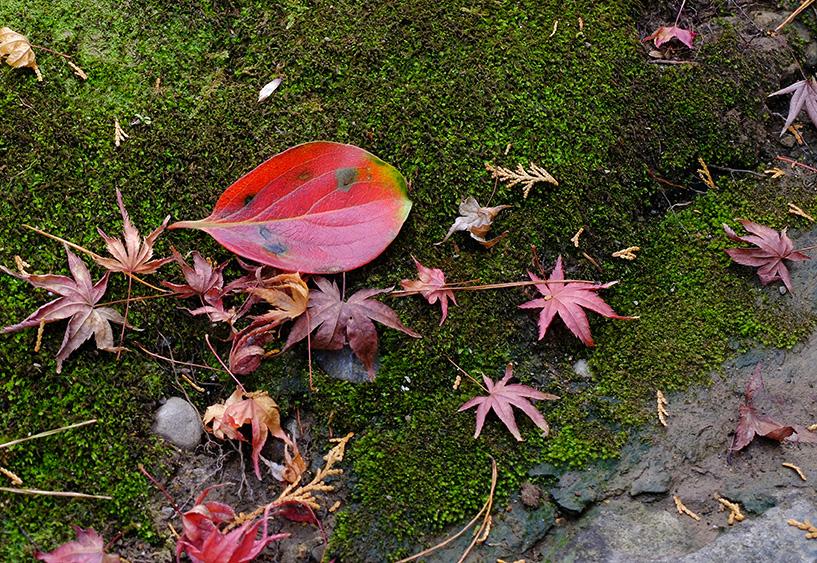 feuilles d'érable japonais et mousse