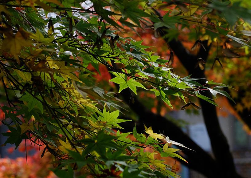 feuilles d'érable japonais