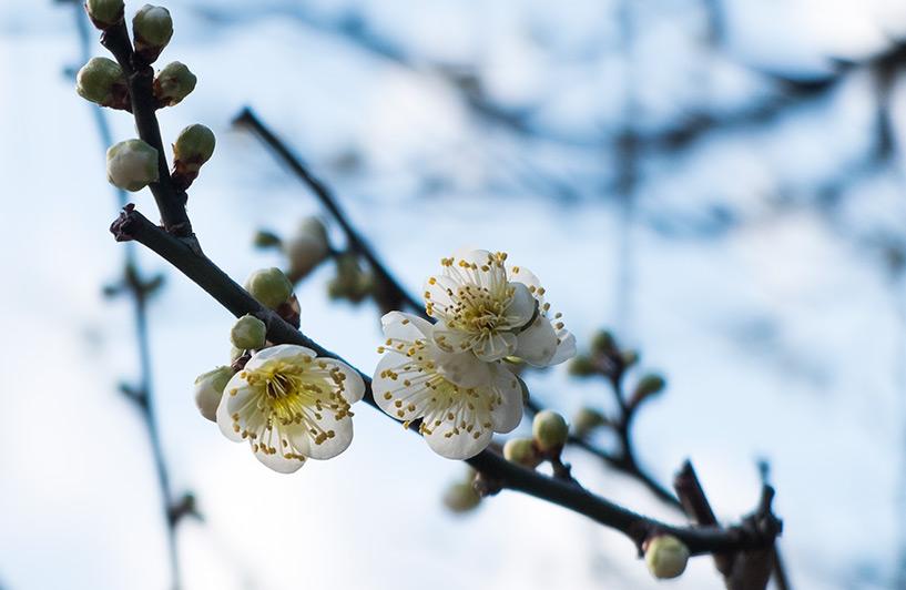 prunier en fleur Hiroshima