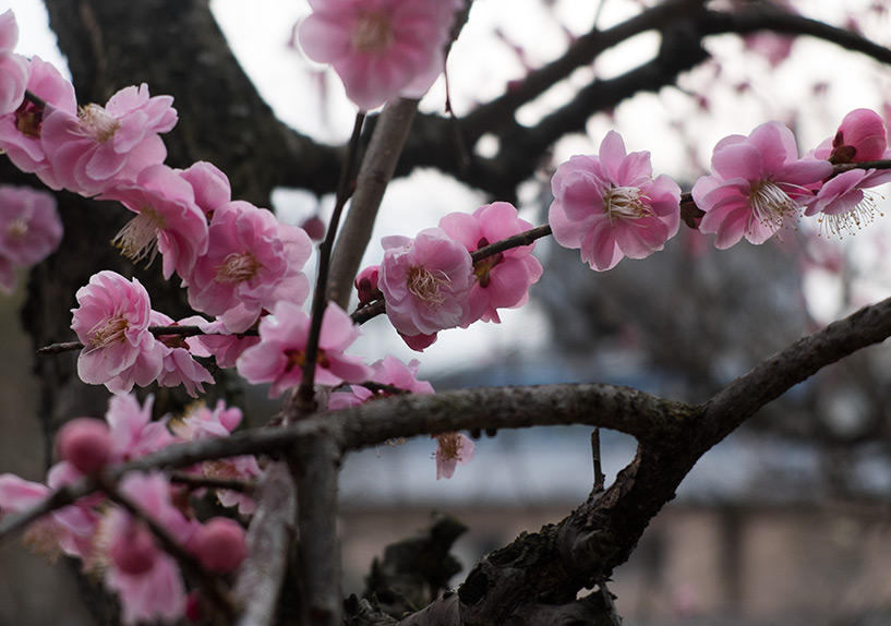 pêcher en fleur dans le temple Fudō-in