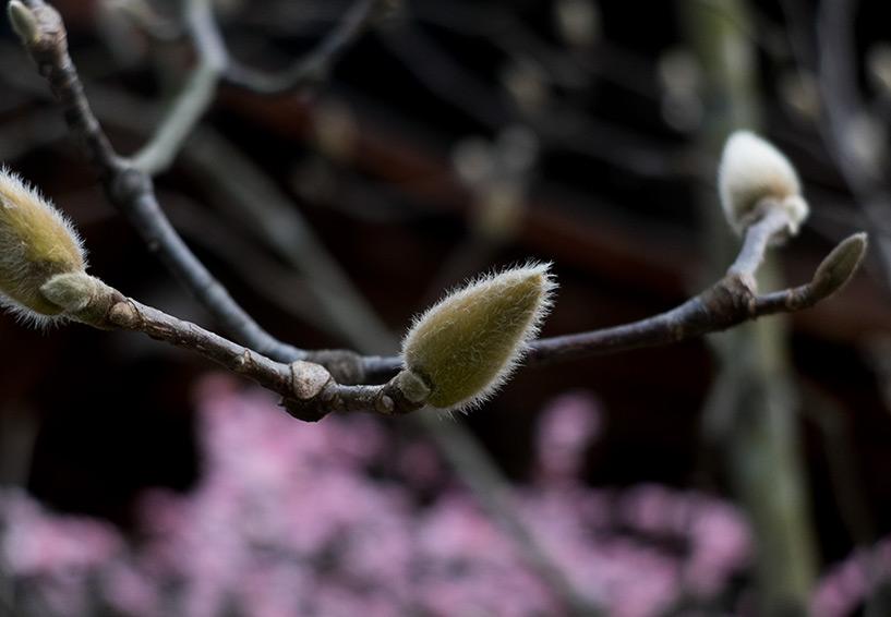 bourgeons de magnolia dans le temple Fudō-in